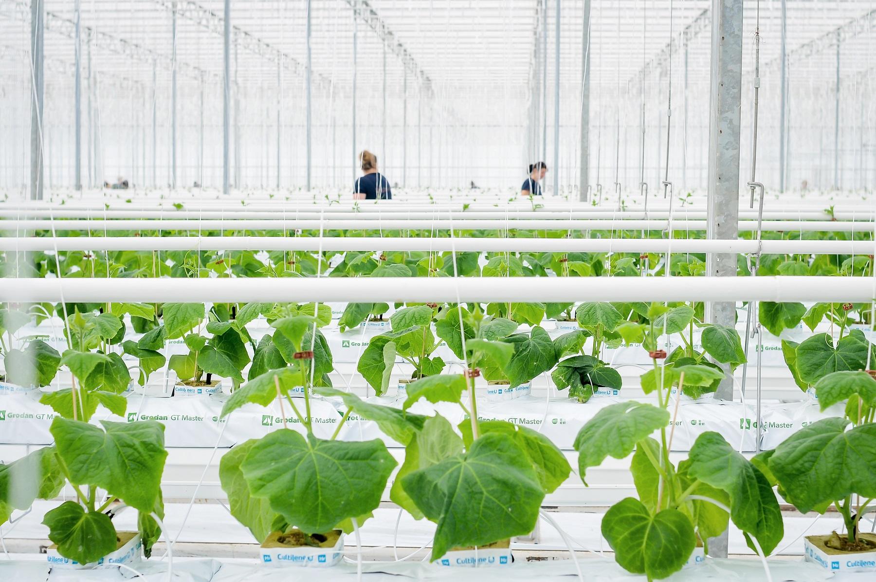 """Šio pavasario sezonui bendrovė """"Agrošiltnamiai"""" jau pasodino net 75 tūkst. agurkų daigų."""