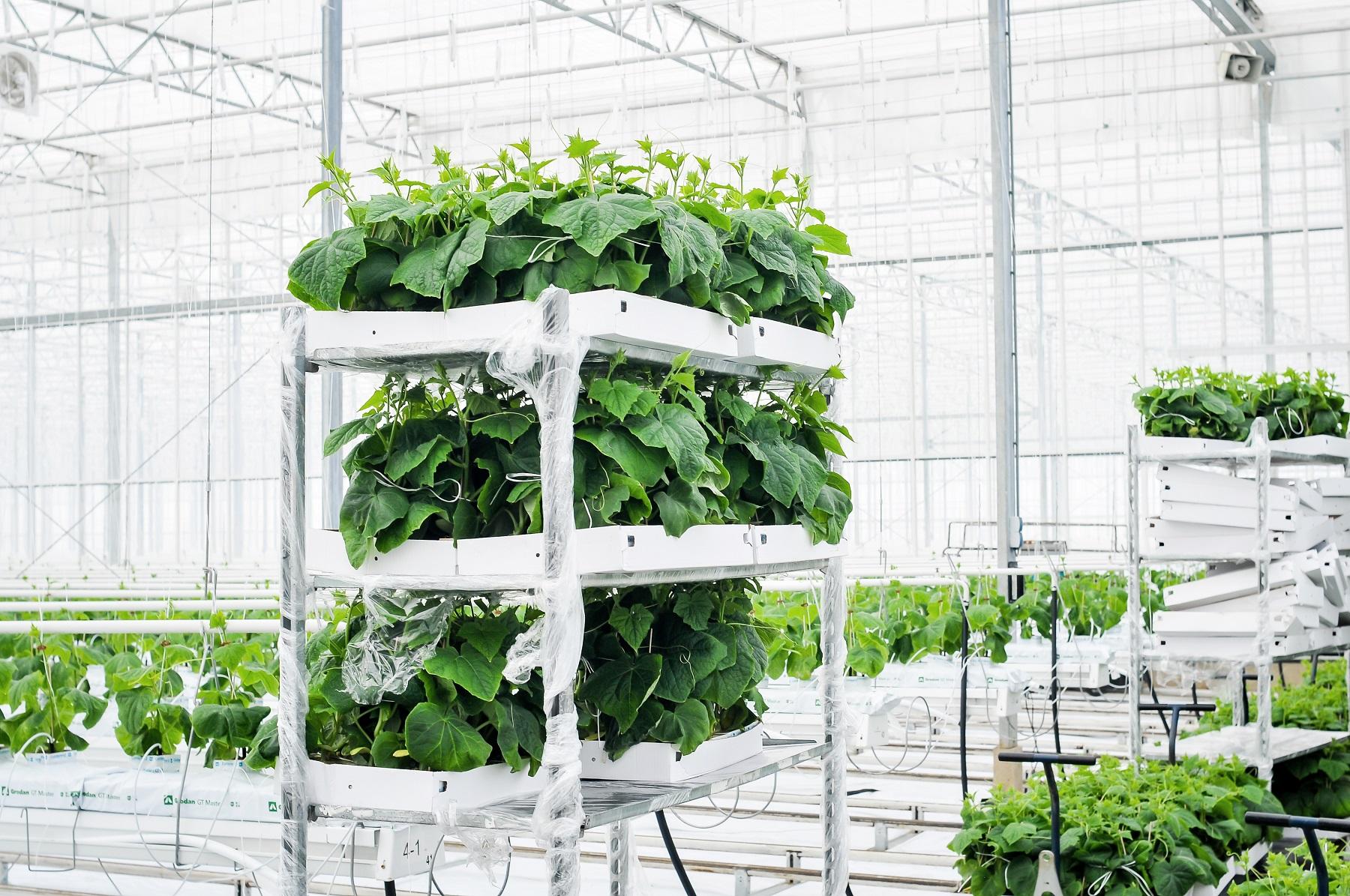 """Vienuose moderniausių šiltnamių ne tik šalyje, bet ir Europoje daržoves auginanti įmonė """"Agrošiltnamiai"""" davė startą agurkų auginimo sezonui. Ne veltui jų šūkis: Mėgaukitės, užauginsime DAR!"""