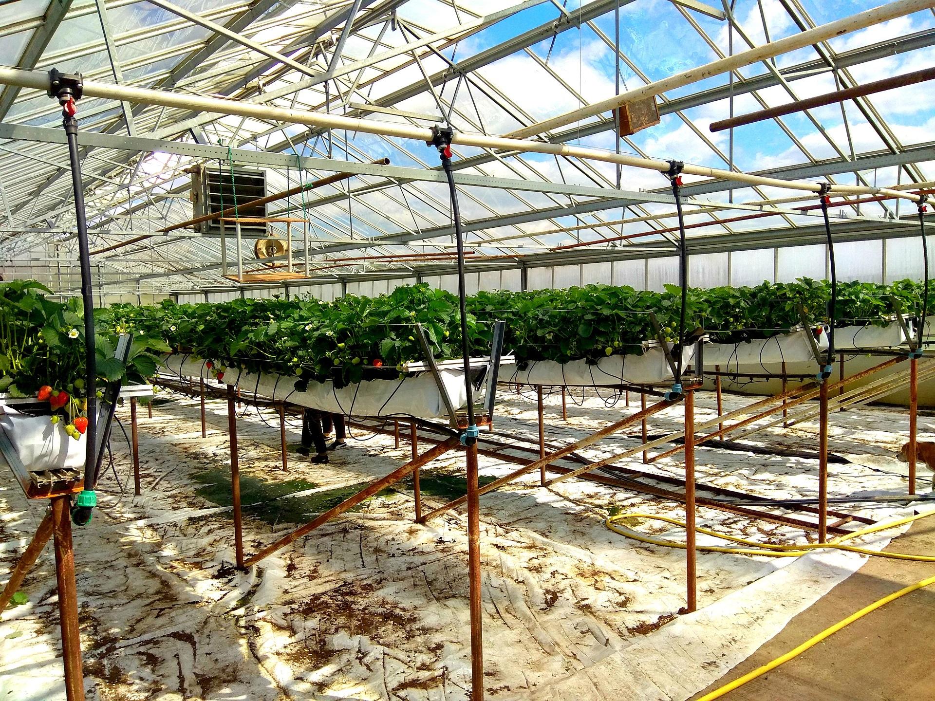 Braškės auginamos stikliniuose šiltnamiuose, tad lauko temperatūra turi mažai įtakos uogų nokimui. Dimitrijaus Kuprijanovo nuotr.