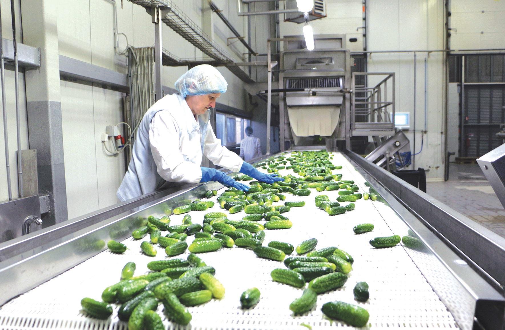 Vienos iš populiariausių daržovių kuriant Kėdainių konservų fabriko gaminius – žaliavaisiai agurkai.