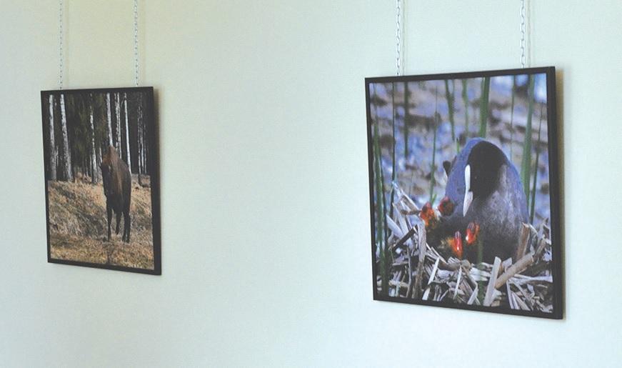 Parodoje eksponuojamos nuotraukos su Kėdainių ir Panevėžio kraštuose užfiksuotais laukiniais gyvūnais.