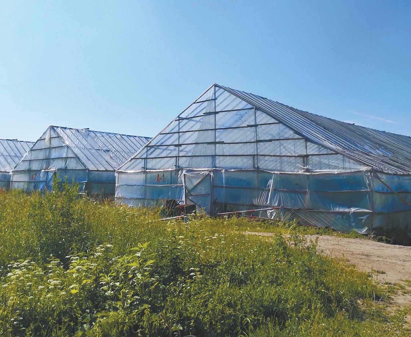 Šiųmetis agurkų derlius taip pat ankstyvesnis apie porą savaičių ne tik šiltnamiuose, bet ir žmonių daržuose.