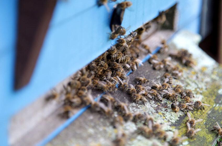 Vėsus pavasaris bičių nelepina