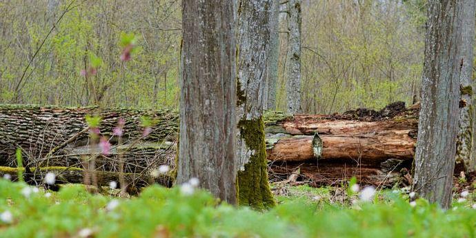 """Šaravų ąžuolas po šešių šimtmečių tarė """"sudie"""" (FOTOGALERIJA)"""