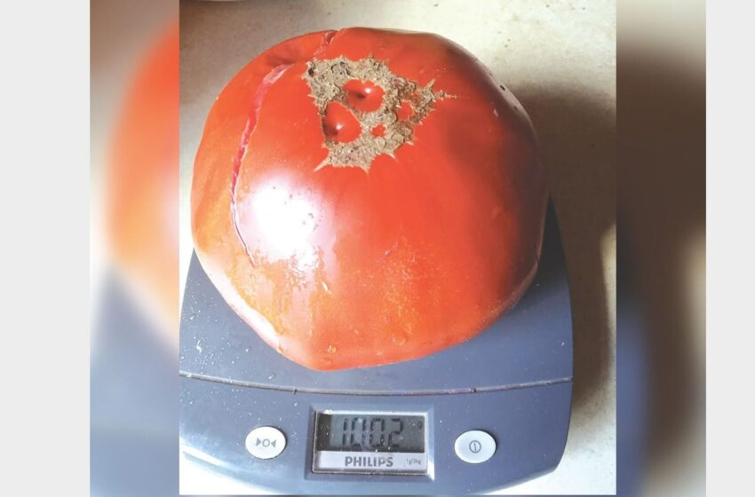Surviliškietės darže – kilograminis pomidoras