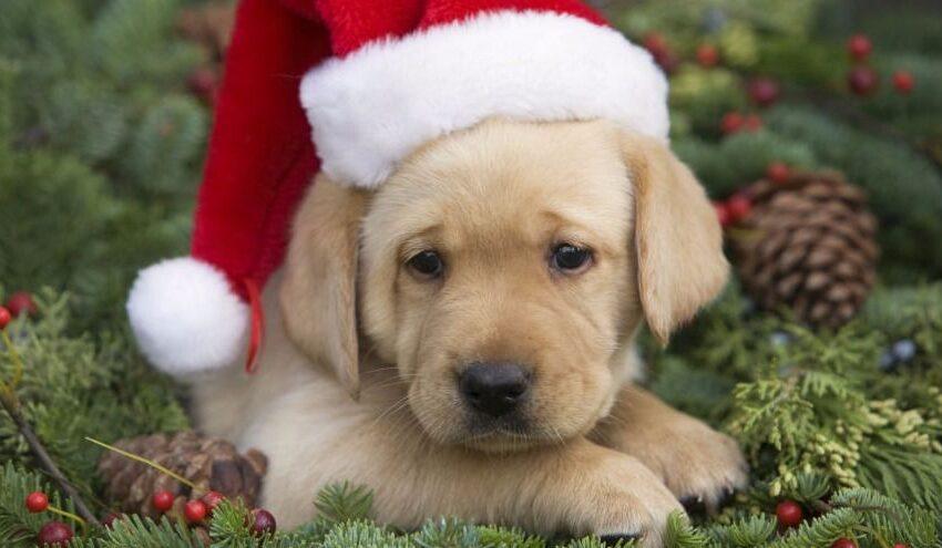Kalėdinių dovanų metas – ar augintinis tinkama dovana?