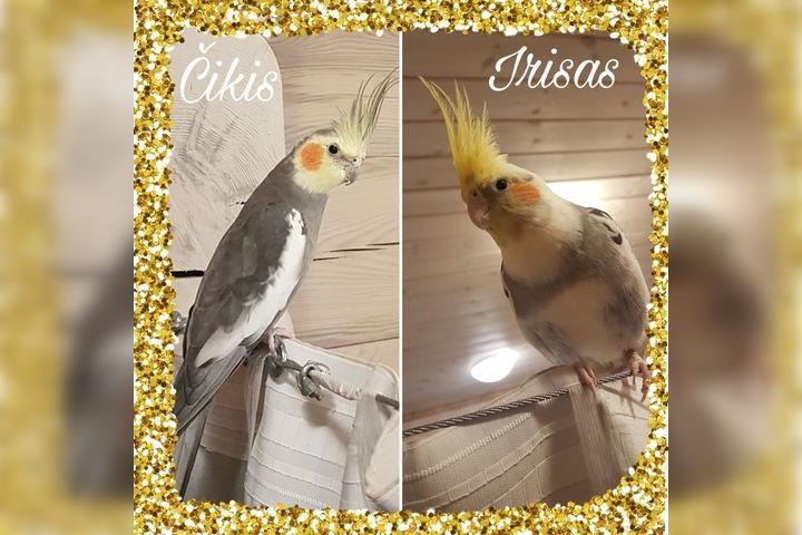Dingo egzotinių paukščių pora