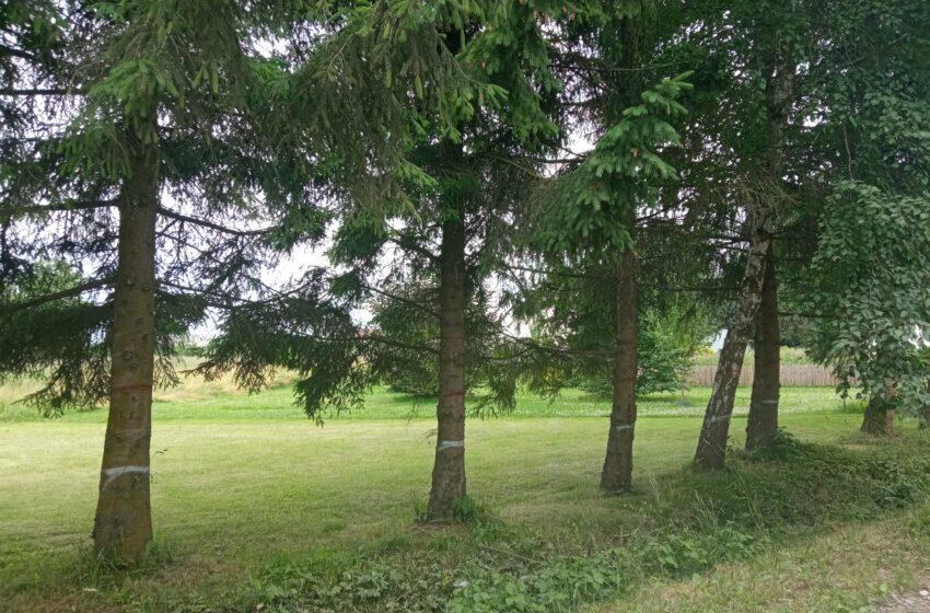 Iškirs 170 medžių
