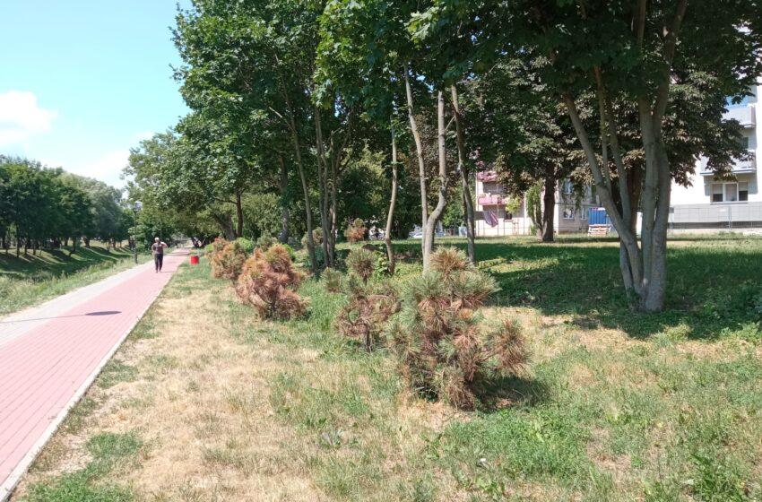 Alinančių karščių ir sausros neatlaikė ir dalis mieste pasodintų medelių
