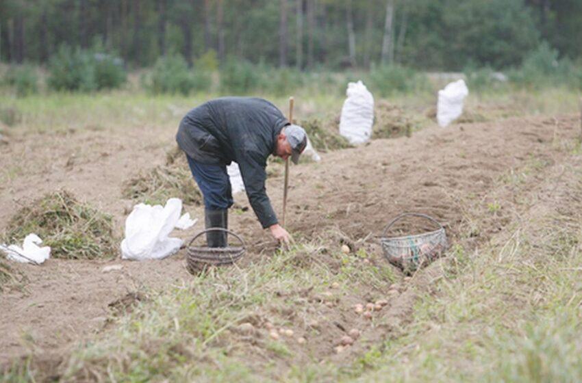 Bulvių derlius šiemet mažesnis, jos – brangesnės