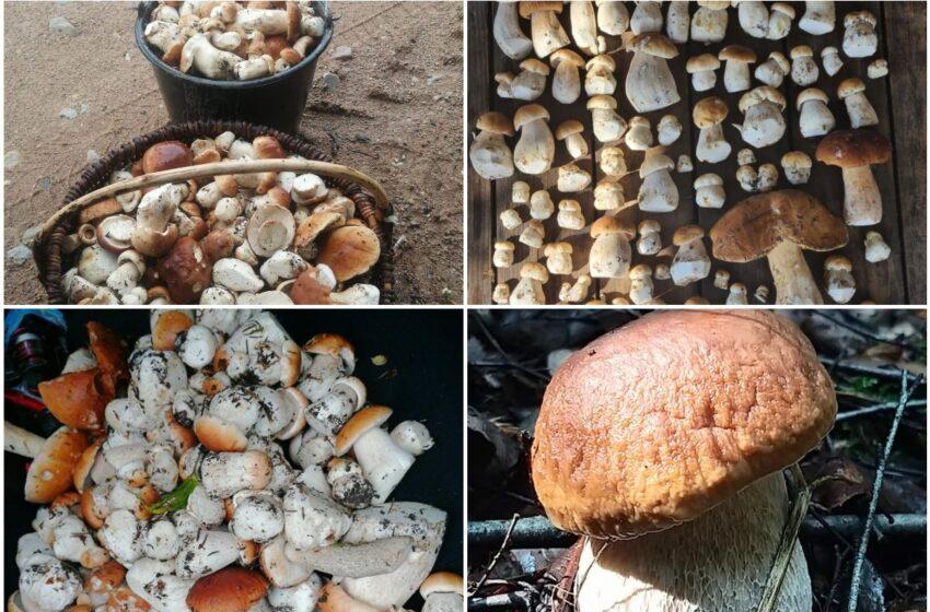 Pirmuoju gausesniu grybų derliumi džiaugiasi ir Kėdainių grybautojai