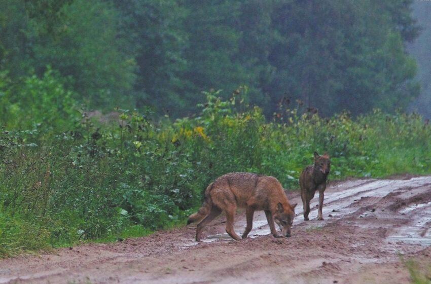 Baimę kelia miestelyje šmirinėjantys vilkai