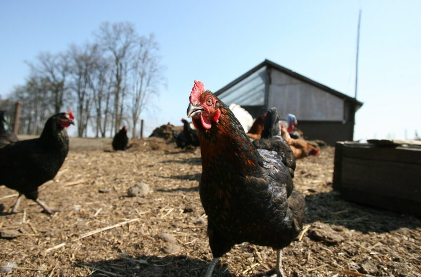 Perspėja naminių paukščių augintojus – vėl išaugo paukščių gripo rizika