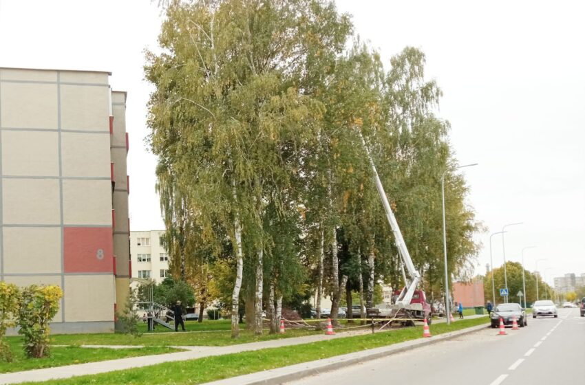 Mieste tvarkomi avarinės būklės medžiai