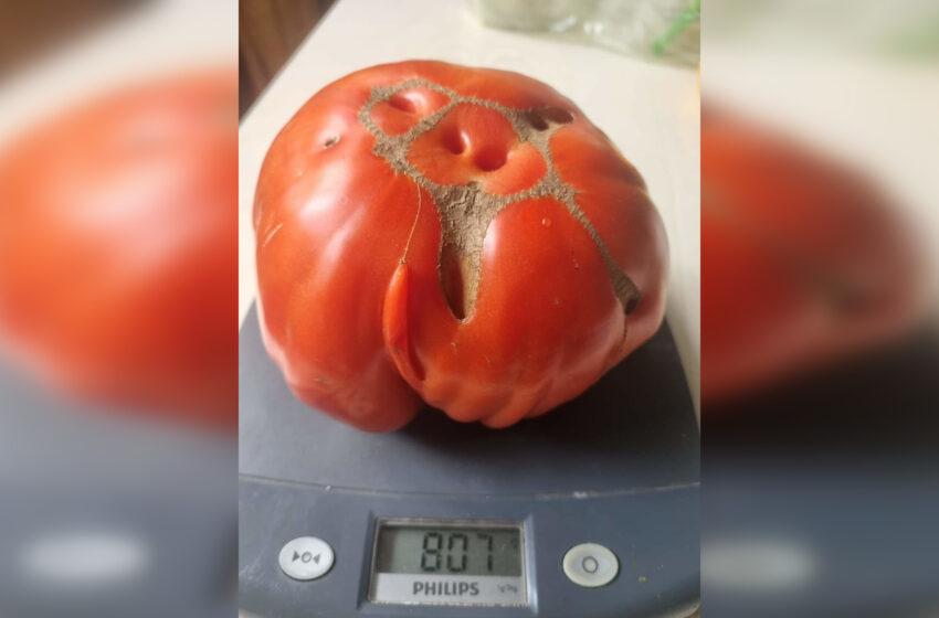 Kėdainietės šiltnamyje užaugo pomidorai milžinai