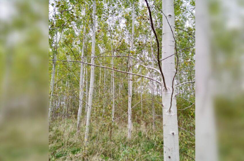 Vėl priimamos paraiškos miškui veisti