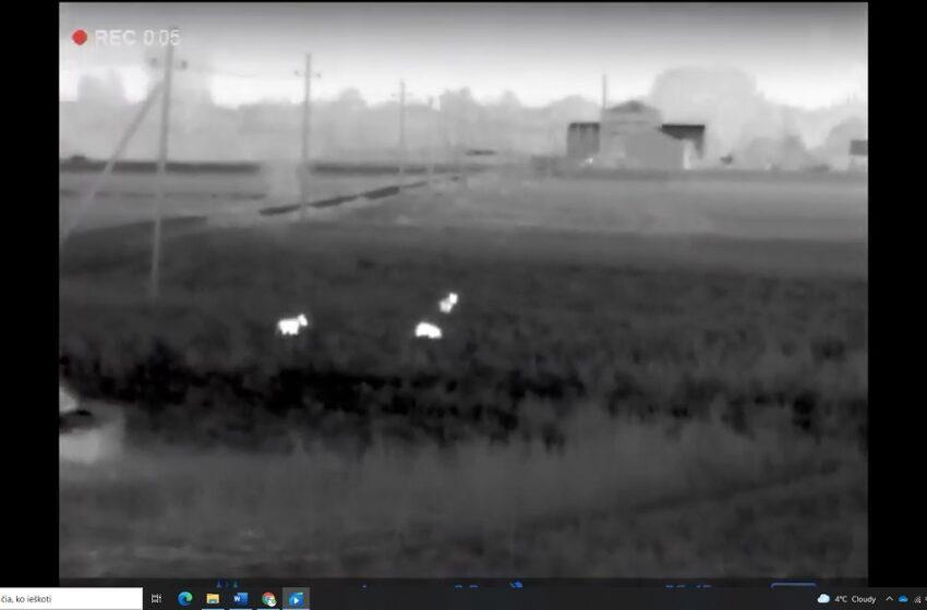 Dotnuvos miestelyje nufilmuota vilkų gauja: šmirinėja aplink avių ūkį (VIDEO)