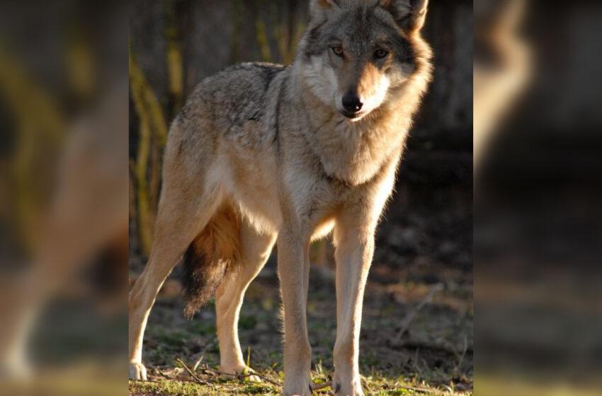Prasideda vilkų medžioklės sezonas: kvota didesnė nei planuota