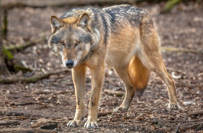 Šį sezoną siūloma leisti sumedžioti 175 vilkus